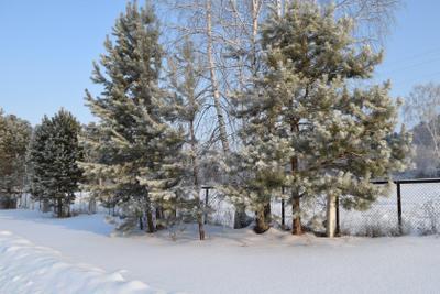 Зимние сосны лес природа зима снег