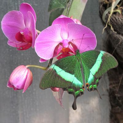 """Парусник Палинур """"Papilio palinurus"""" бабочка парусник палинур"""
