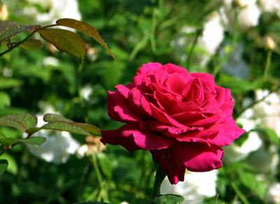 *** природа лето цветы роза макро
