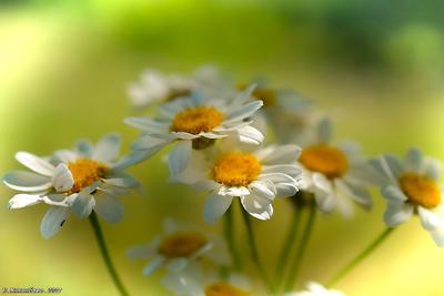 Ромашки природа лето июнь цветы.ромашки