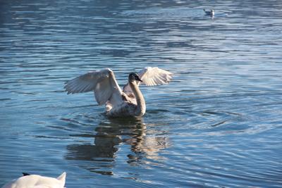 Готов к полёту Швейцария Люцерн озеро вода лебедь птица крылья полёт