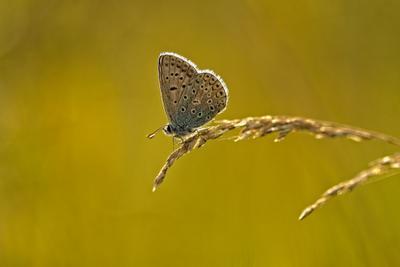 бабочка на травинке лето бабочка голубянка макро
