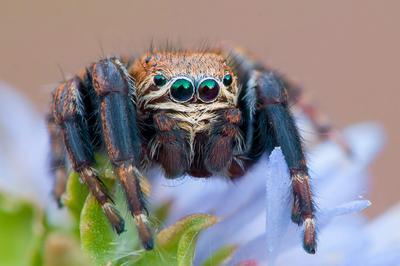 Глазастый головастый паук скакунчик глаза