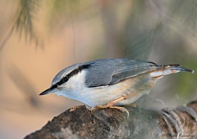 Поползень Птица поползень лес природа