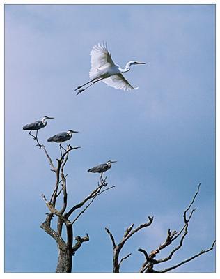 Учитесь летать, салаги! Белая цапля фотоохота дикая жизнь