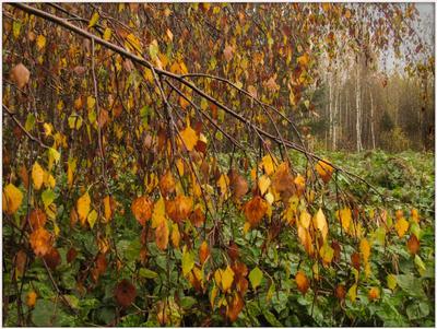 Музыка осеннего дождя.. Осенние листья берёза дождь туман осенние зарисовки