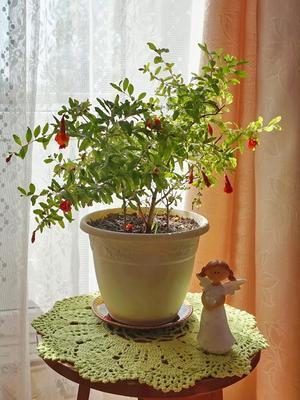 Гранатовое деревце комнатное растение гранат