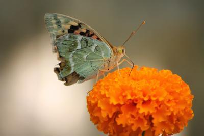 Бабочка бабочка маленькая красота