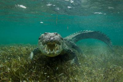 Попался! Крокодил Карибы Море Океан