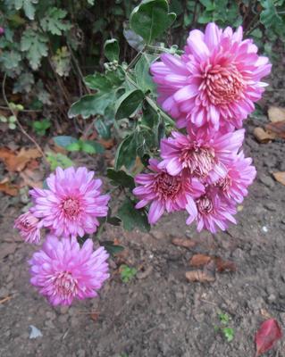 Хризантемы цветы осень