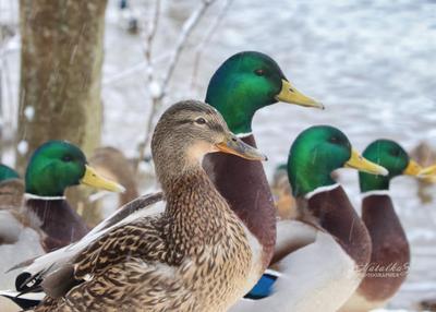 Зона повышенного внимания утка селезень клюв птица птицы пернатые зима