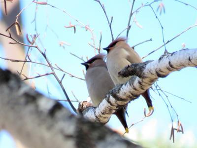 Парочка  свиристелей птицы свиристель весна