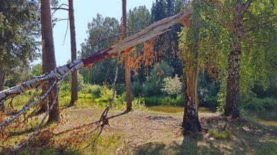Осенняя березка среди лета береза лето дерево природа