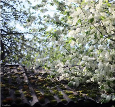цвет черёмухи черёмуха весна цветение май москва