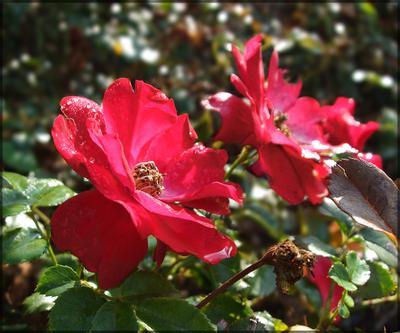 *** Капельки цветов *** Цветы, капельки, розы