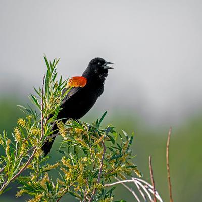 Полководец. У Поля Битвы. фотоохота краснокрылый дрозд птицы red-winged blackbird Agelaius phoeniceus