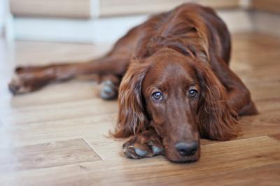 Портрет юноши-романтика. Фотосессии животных, собаки, ирландский красный сеттер, домашние питомцы, фотограф-анималист