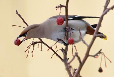 Последние  ягодки.  Свиристель птицы свиристели