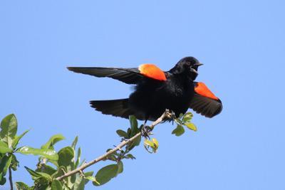 Весна пришла Красноплечий чёрный трупиал Agelaius phoeniceus Linnaeus 1766 Red-winged Blackbird