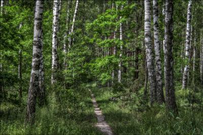 Среди берёзок средней полосы... лето природа лес