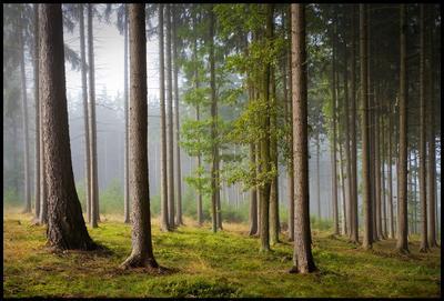 Утро туманное лес, утро, туман
