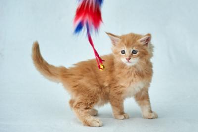 Впервые на подиуме кот кошка мейн-кун