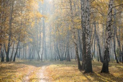 Осеннее утро в лесу Лес осень утро туман березы деревья дорожка листья
