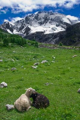 Кавказская любовь :) Кавказ горы баран бараны природа гора пейзаж