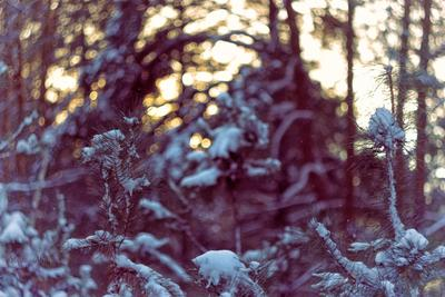 В снежном одеянии зима снег сосна