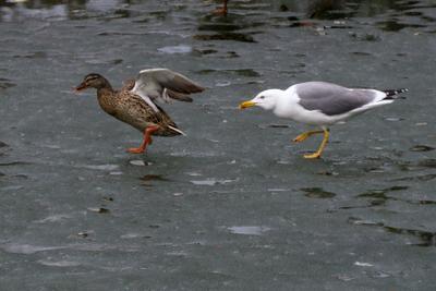 *** чайка утки птица птицы животные