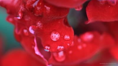 Intimisy цветок красный flower