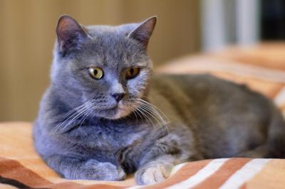 Голубая британская кошка британская котофото