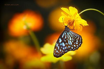 Страна златых цветов / The Realm of Flowers Gold бабочка голубой тигр tirumala limniace Индия Ритам Мельгунов стихи поэзия ritam melgunov poem poetry