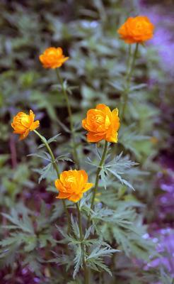 Купальница цветы