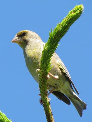 *** птицы зеленушка
