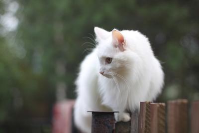 Забороходец кот, забор, лето, взгляд