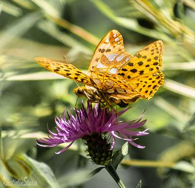 Из серии на цветке...Бабочки. на цветке бабочки осень сентябрь