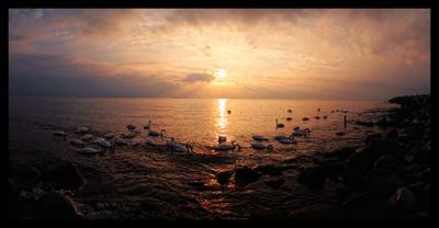 Лебединое море лебеди Балтийская коса море закат