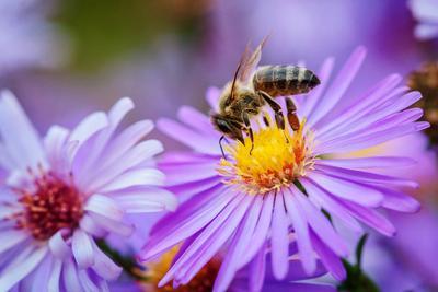 *** Пчёлка цветок