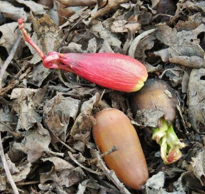 Проростает жёлудь жёлудь жолудь проростает acorn oaknut germination germinates