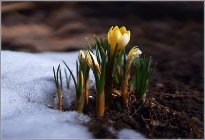 Март Весна крокусы