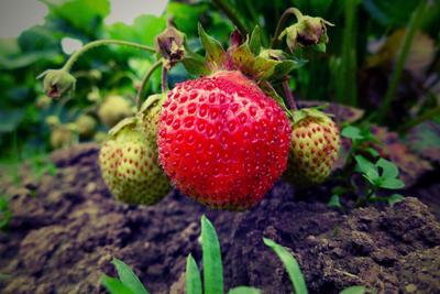 Покраснела от стыда :) Лето клубника природа зелень