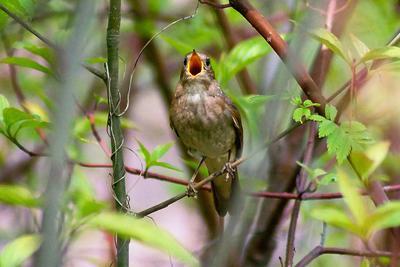 Соловей поёт, заливается весна птицы соловей