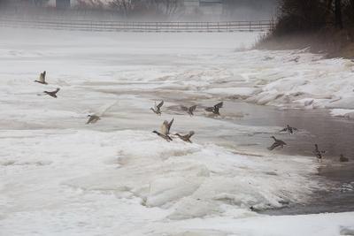 Утки на реке