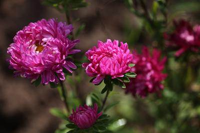 Цветочки моего садика. Астры астра цветы