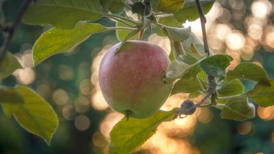 Apple )))