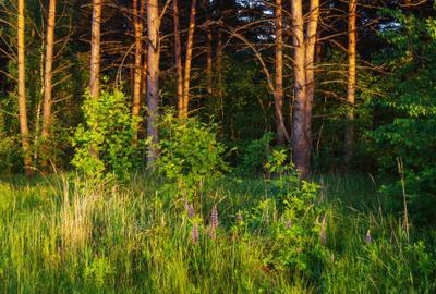 Страна Люпиния пейзаж природа лето вечер поляна опушка лес люпины Воронеж