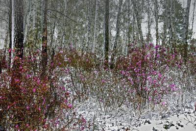 Переменчива погода в мае. Лес багульник снег