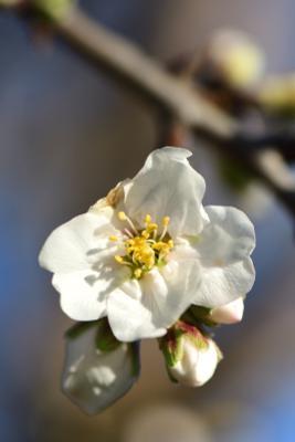 Миндальный цветок Цветы