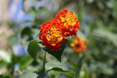 Он и Она). цветок, израиль